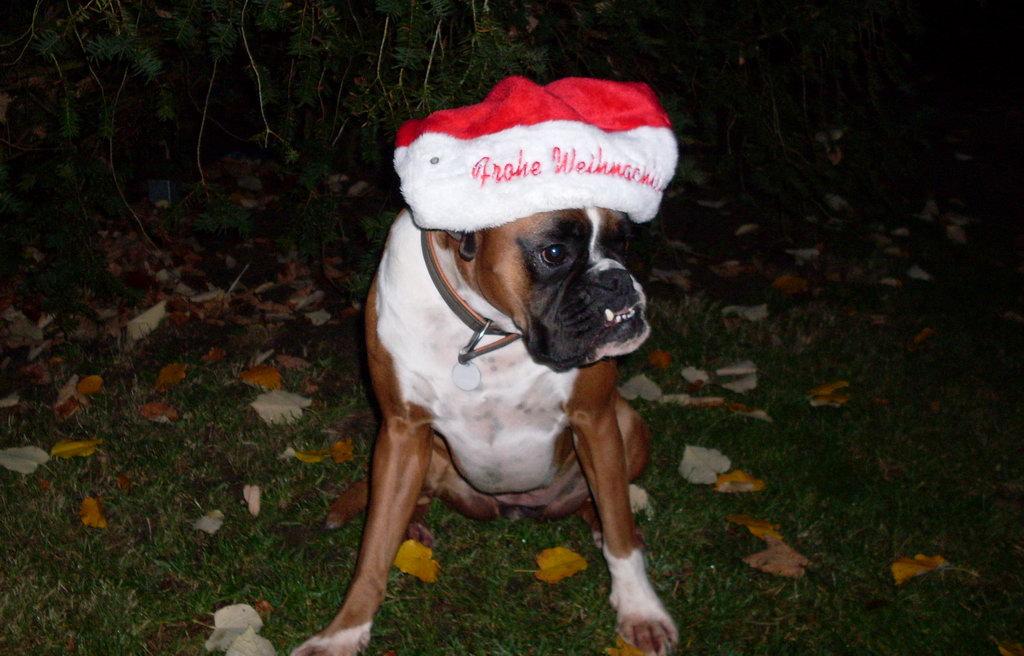 Weihnachten lustige Hunde