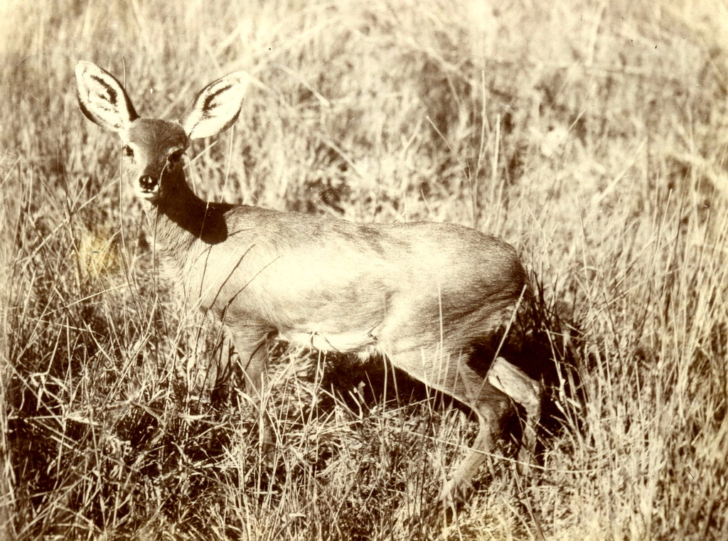 Antilope in Deutsch-Südwestafrika