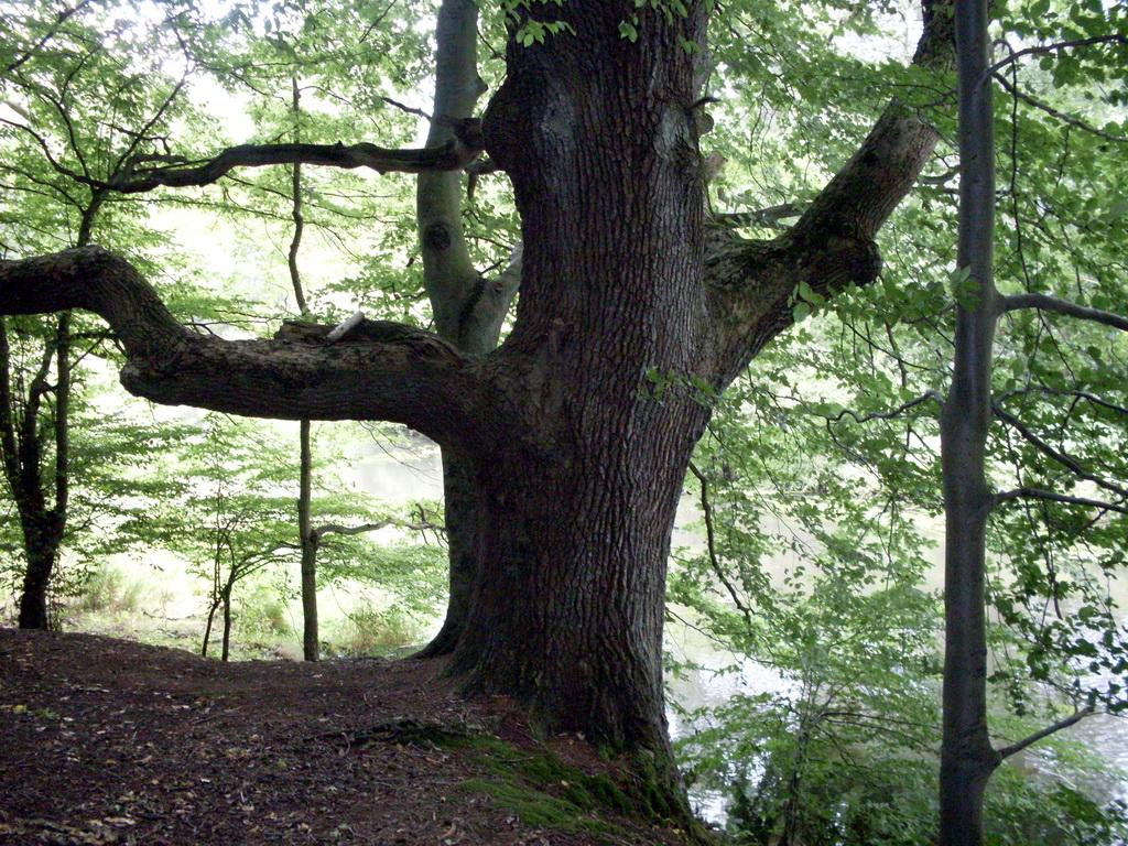Alte bäume eiche