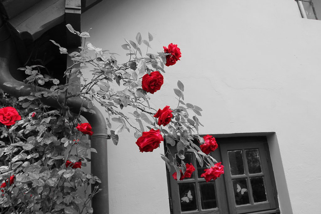 Rosen Sommer Garten